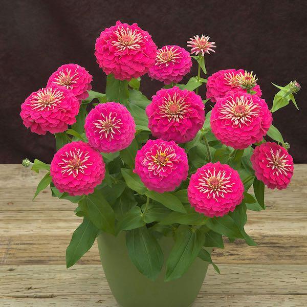 Preciosa Pink zinnia seeds
