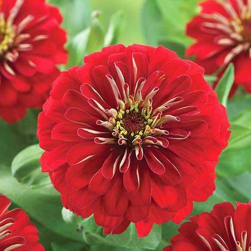 Preciosa Red zinnia seeds