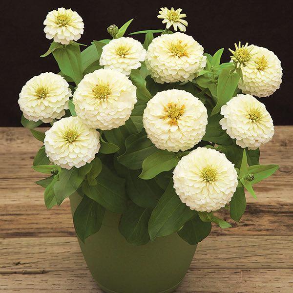 Preciosa White zinnia seeds