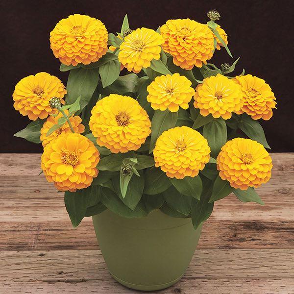 Preciosa Yellow zinnia flower