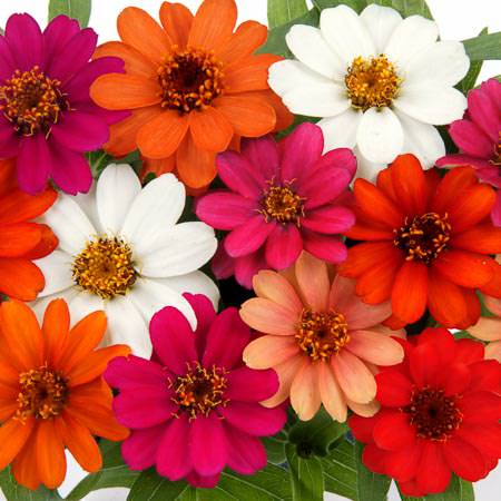 Profusion 5 Color Mix zinnia seeds