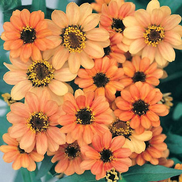 Profusion Apricot zinnia seeds