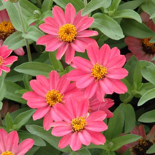 Zinnia Profusion Coral Pink flower garden seeds