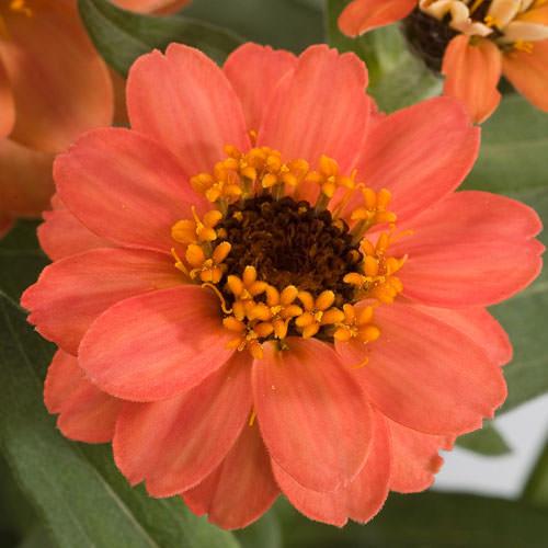 Zinnia Profusion Deep Apricot flower garden seeds