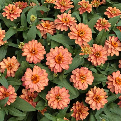 Profusion Double Deep Salmon zinnia seeds
