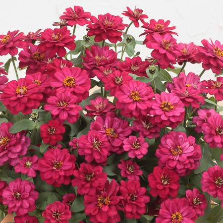 Profusion Double Hot Cherry zinnia seeds