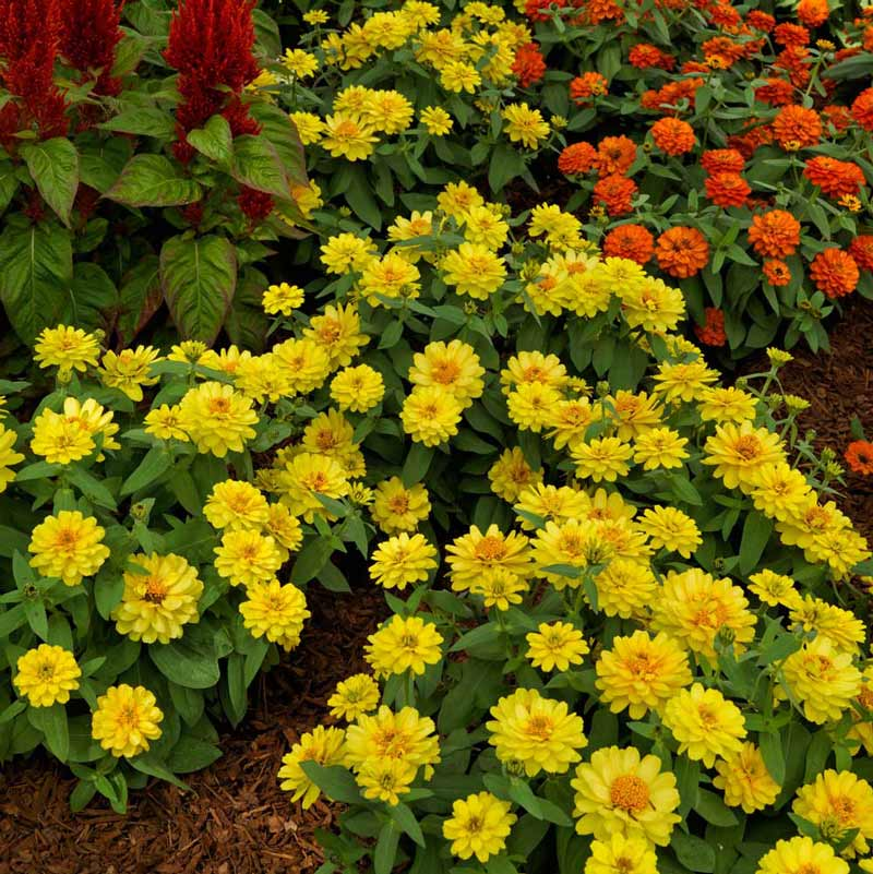 Profusion Double Yellow zinnia seeds