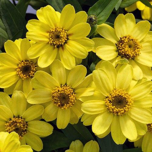 Profusion Lemon zinnia flower