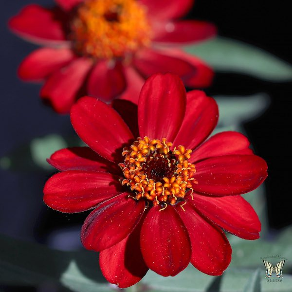 Profusion Red zinnia flower
