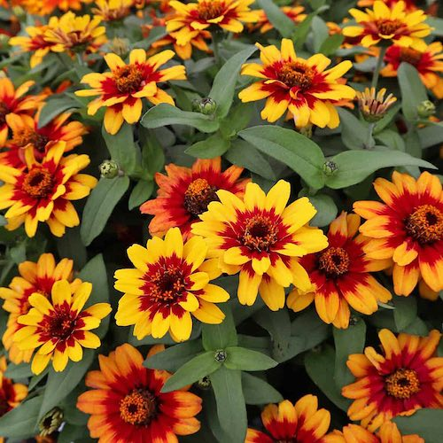 Profusion Red Yellow Bicolor zinnia flower