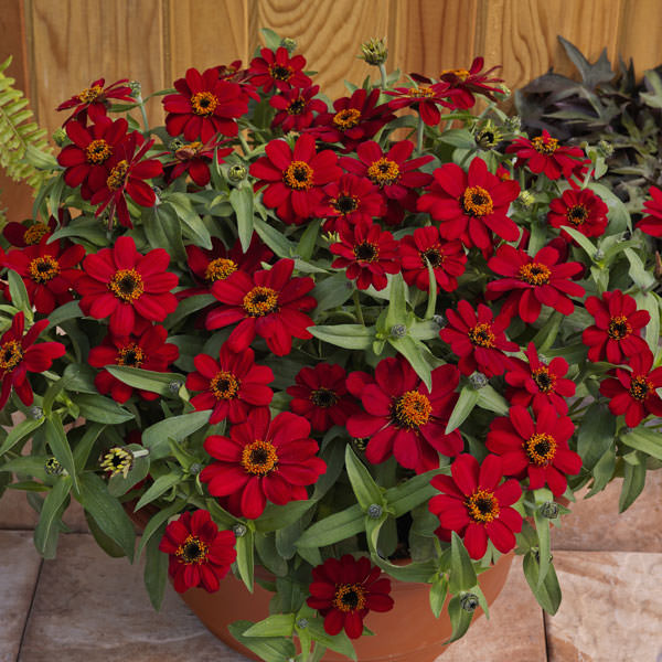 Profusion Red zinnia seeds