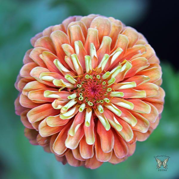 Queen Lime Orange zinnia seeds