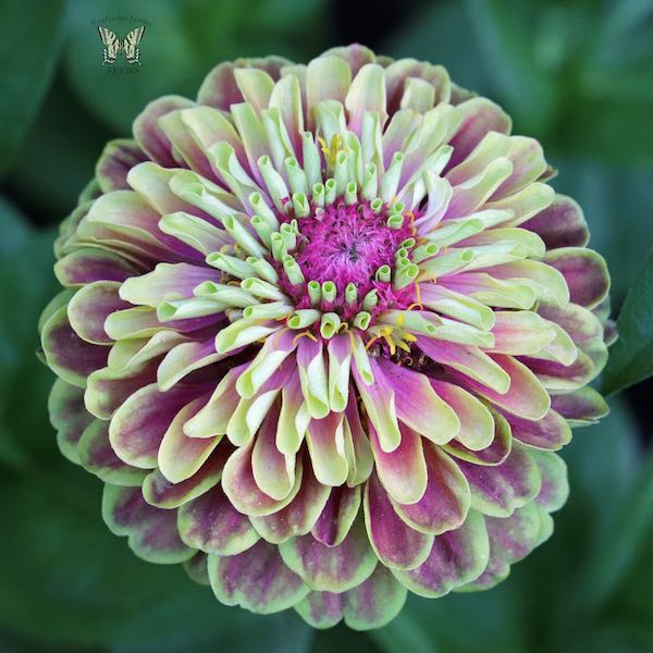 Queen Lime with Blotch zinnia seeds