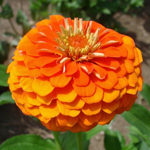 Queen Pure Orange zinnia seeds
