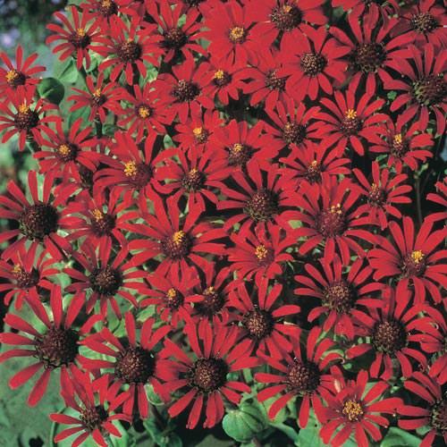 Red Spider zinnia seeds