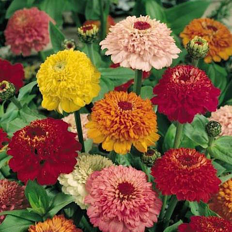 Scabiosa Flowered Mix zinnia seeds