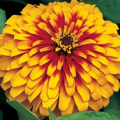 Swizzle Scarlet and Yellow zinnia seeds
