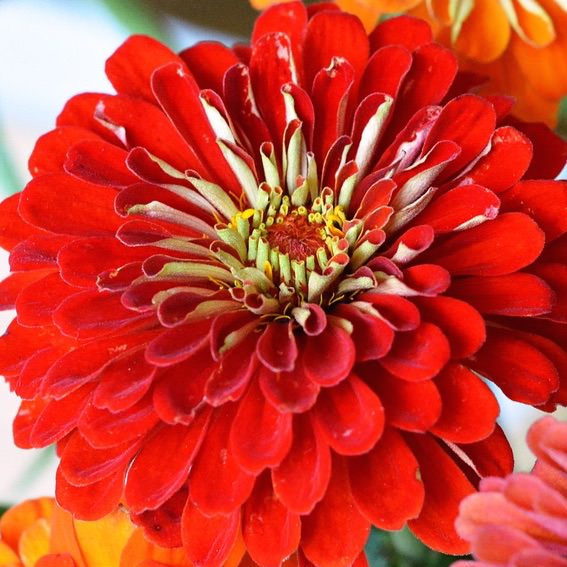 Scarlet Flame zinnia seeds