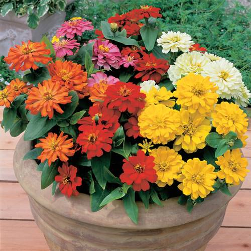 Short Stuff Mix zinnia seeds