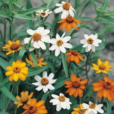 Star Strarbright zinnia seeds
