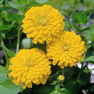 Zinnia Sun Gold Hybrid flower garden seeds