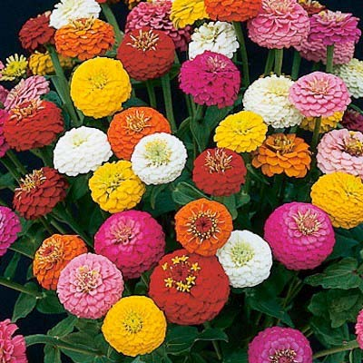Sunbow Mix zinnia seeds