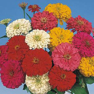 Sunshine Hybrid Mix zinnia seeds