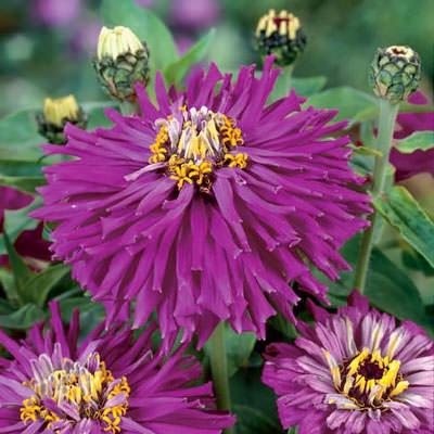 Super Cactus Lilac Emperor zinnia seeds