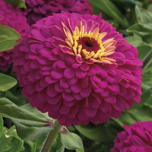 Uproar Rose zinnia seeds