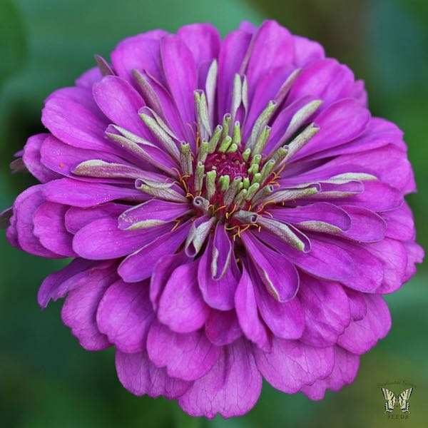 Violet Queen zinnia seeds
