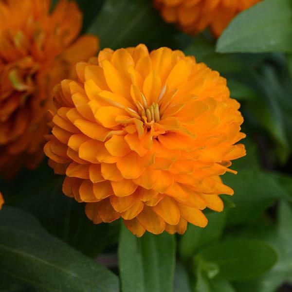 Zahara Double Bright Orange zinnia flower