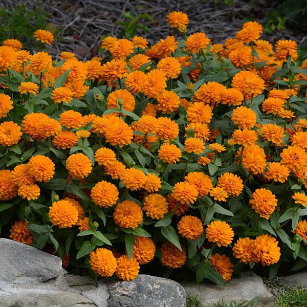 Zahara Double Bright Orange zinnia seeds