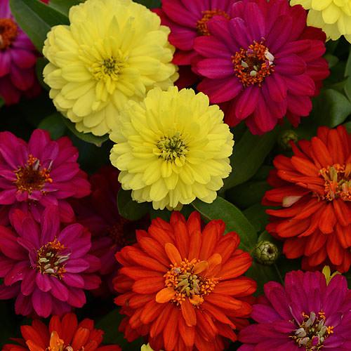 Zahara Double Brilliant Mix zinnia flowers