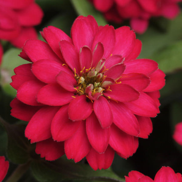 Zahara Double Cherry zinnia seeds