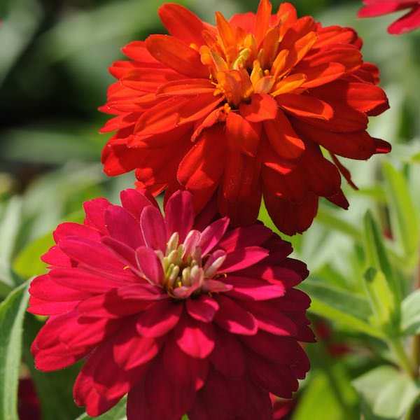 Zahara Double Duo Mix zinnia seeds