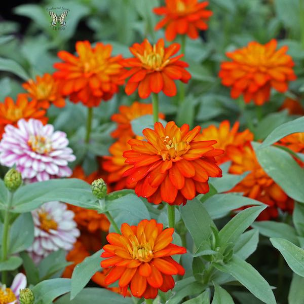 Zahara Double Fire zinnia seeds