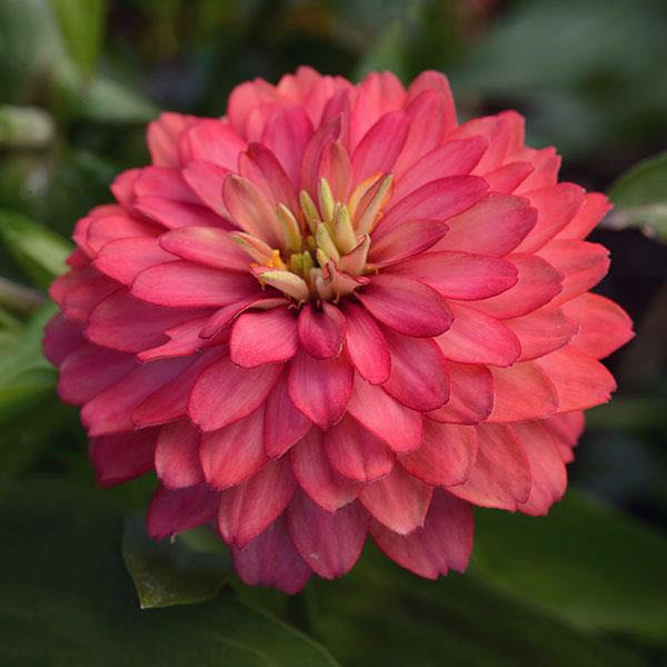 Zahara Double Salmon Zinnias