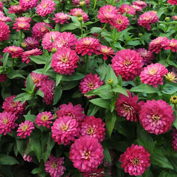 Zahara Double Strawberry zinnia seeds