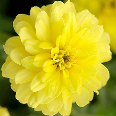 Zahara Double Yellow zinnia seeds