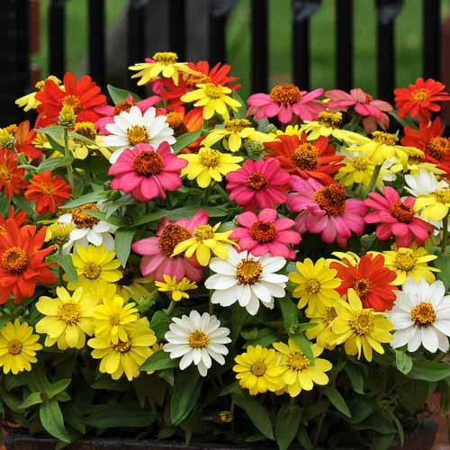Zinnia Zahara Mix flower garden seeds