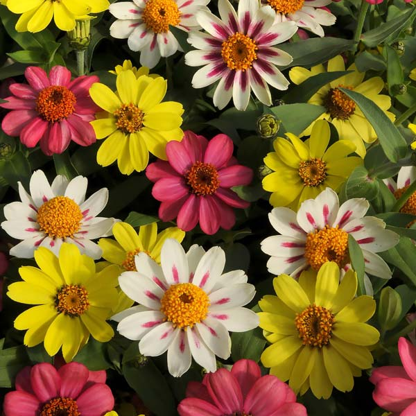 Zahara Raspberry Lemonade Mix zinnia seeds