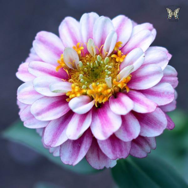 Zahara Double Raspberry Ripple zinnia flower
