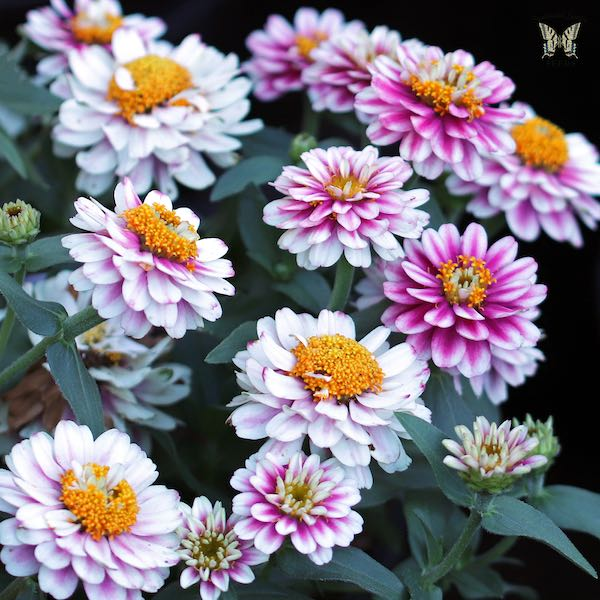 Zahara Double Raspberry Ripple zinnia seeds