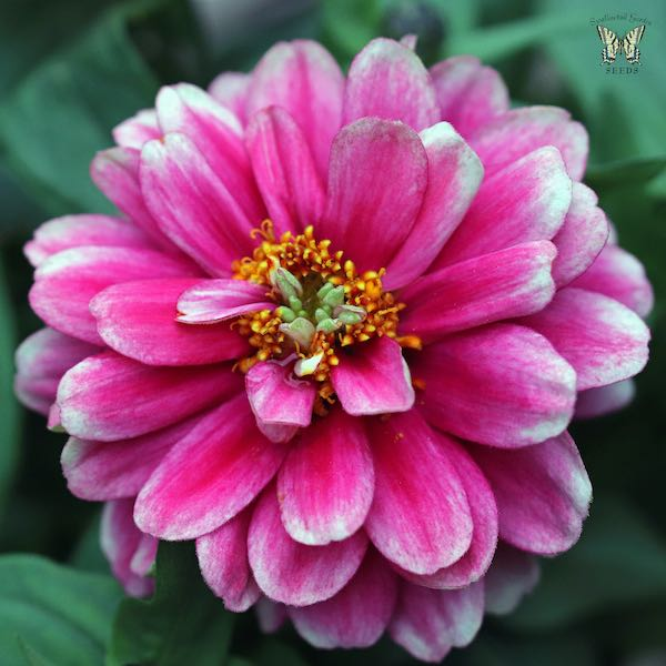 Zahara Double Raspberry Ripple zinnia seeds