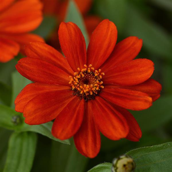 Zahara Red zinnia seeds