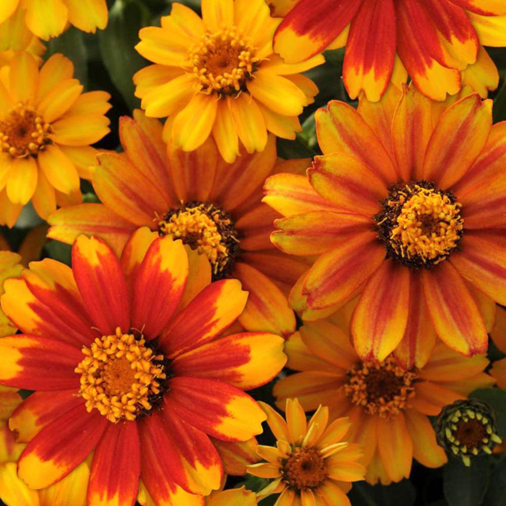 Zinnia Zahara Sunburst flower garden seeds