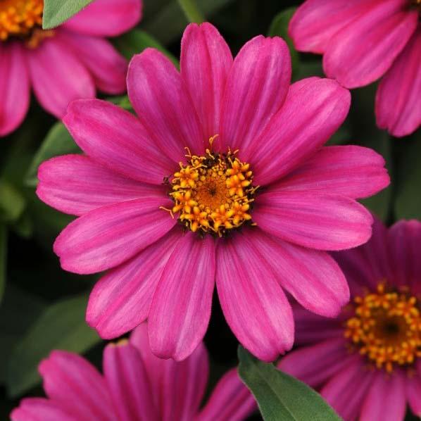 Zinnia Zahara XL pink flower garden seeds