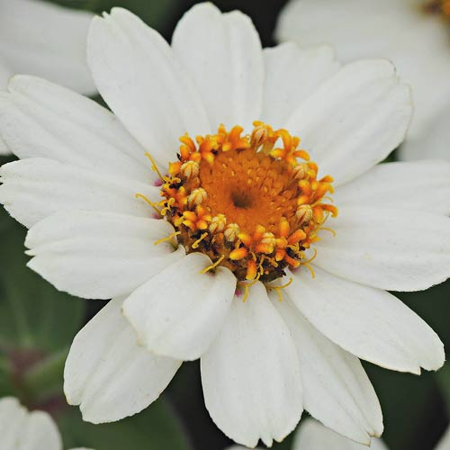 Zahara XL White zinnia seeds