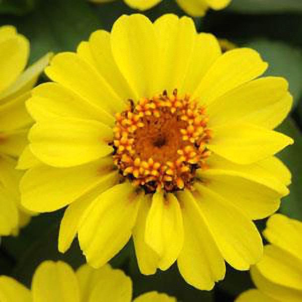 Zahara XL Yellow zinnia seeds