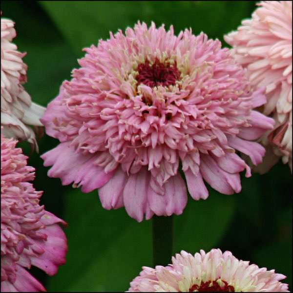 Zinderella Lilac zinnia seeds